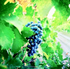 www.dgbookblog.com:grapes